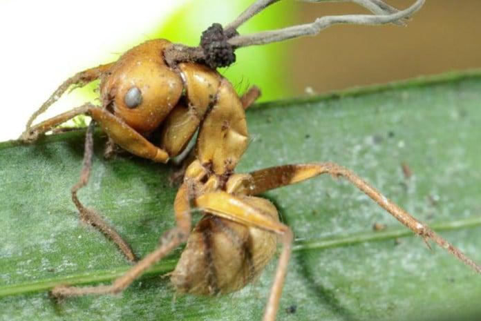 Formiga infectada por um fungo