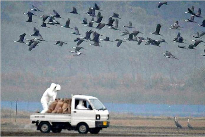 Alerta maximo para o vírus H5N1