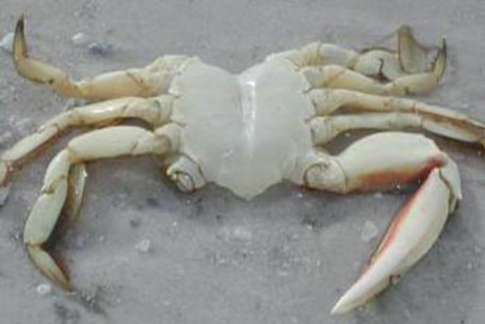 Fenómeno dos caranguejos mortos nas praias de Inglaterra