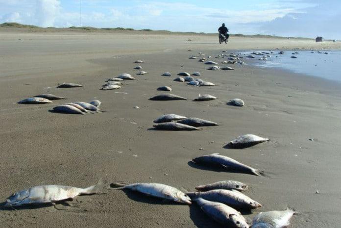 Grande mortandade de peixes na costa da Carolina do Sul
