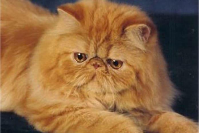 Sugar, o gato persa