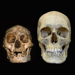 Crânio de LB1 e de Humano