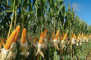 Plantações de Milho Transgénico
