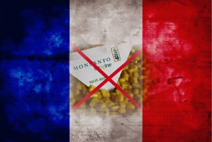 Milho Transgênico em França