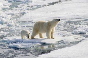"""""""Desaparecimento"""" do gelo polar (e dos ursos polares)"""