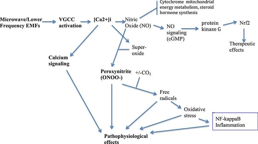 No esquema cada um dos efeitos das frequências electromagnéticas é produzido através das seguintes vias mostradas. A exposição a Wi-Fi e EMF causa danos através da produção de peroxinitrito (anião ONOO − ), um poderoso oxidante. Juntamente com outros radicais livres, a sua acção total cumulativa gera um stress oxidativo que pode espelhar em algumas condições aquilo que é observado na exposição à radiação ionizante. Não é por ser uma acção indirecta, não é por isso menos lesiva. A revisão de estudos científicos publicados focados nos efeitos da exposição a Wi-Fi e EMF identifica 7 diferentes vias lesivas do corpo, pelo menos.