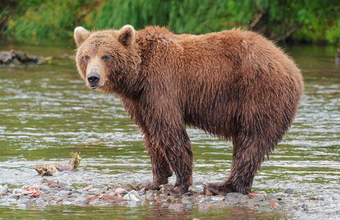 Ursos na Floresta