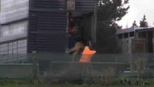 Bezerros carregados para camião violentamente