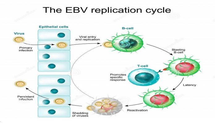 O vírus Epstein-Barr